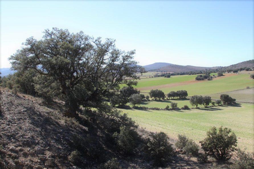 Carrascas centenarias y castillo de Zafra