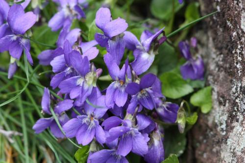 Violeta silvestre