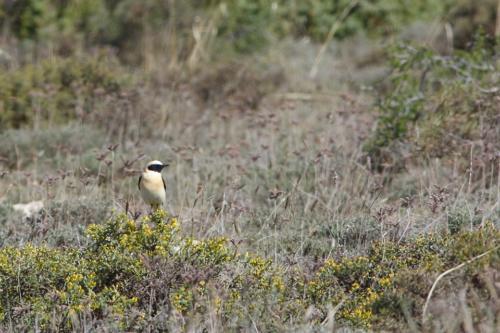 Collalba rubia(Oenanthe hispanica)