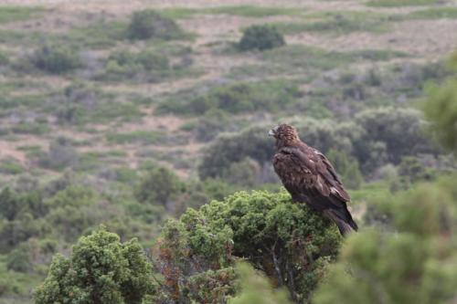 Águila real(Aquila chrysaetos)